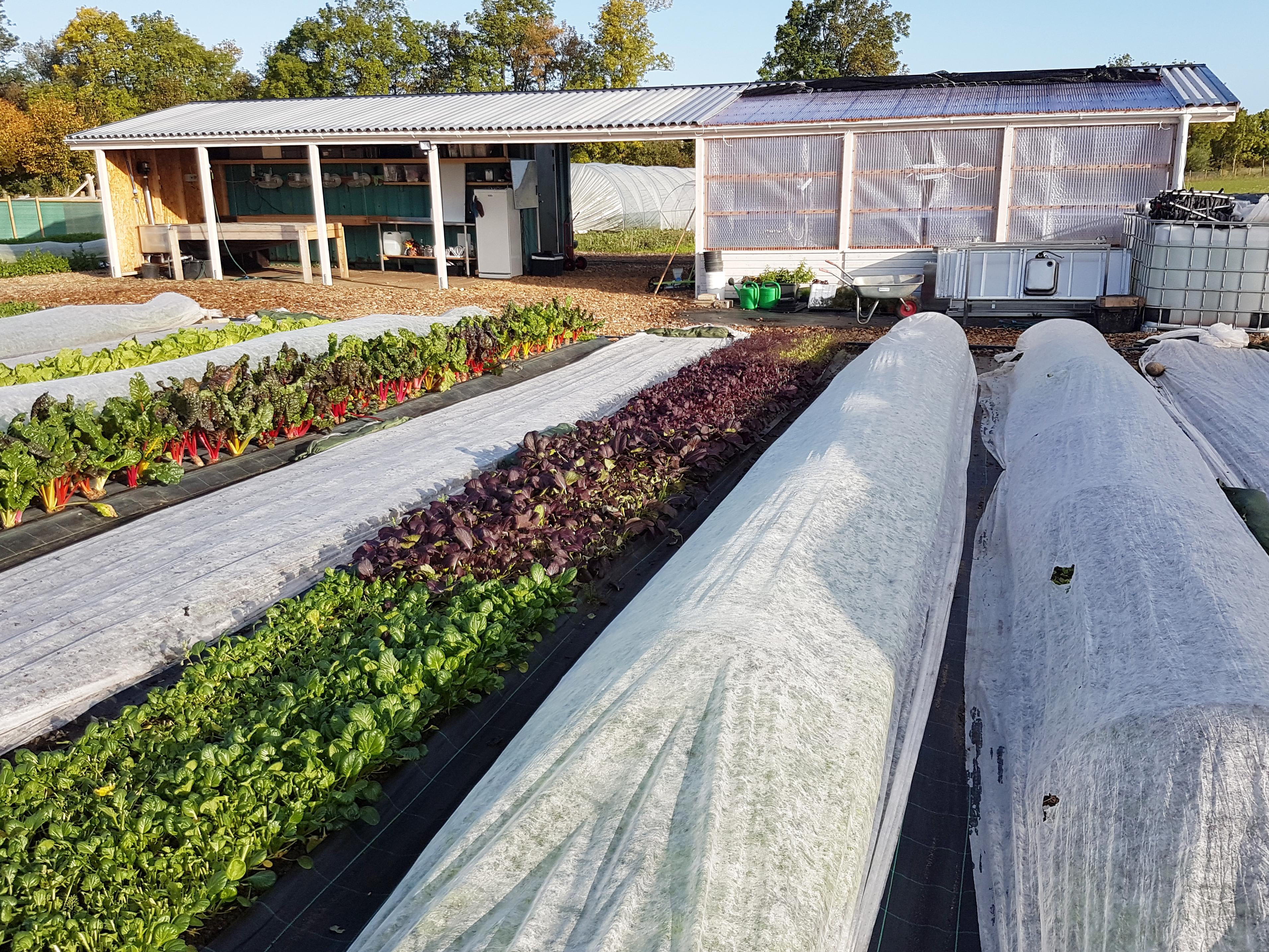 Bild på Vegostans odlingar. På bild visas bland annat olika sallader.